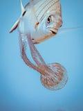 Zebrabream con un apetite para la medusa Imágenes de archivo libres de regalías