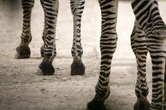 Zebrafahrwerkbeine Lizenzfreies Stockbild
