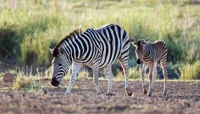 Zebrafamilie Stockbilder