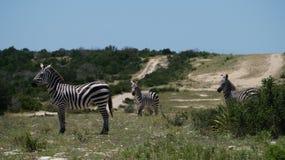 Zebrafamilie Stockfoto