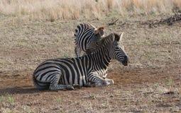 Zebrafamilie Lizenzfreies Stockfoto