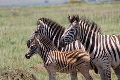 Zebrafamilie in den Wiesen Lizenzfreie Stockfotografie