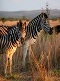 Zebrafamilienportrait Lizenzfreie Stockfotos