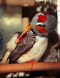 Zebrafink männliches Taeniopygia-guttata stockfotografie