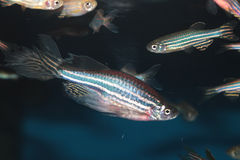 Zebrafish (Danio rerio) aquarium fish. Zebrafish (Danio rerio) freshwater aquarium fish Stock Photo