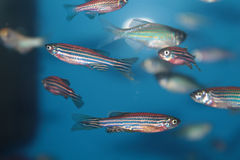Zebrafish (Danio rerio) aquarium fish. Zebrafish (Danio rerio) tropical aquarium fish Stock Photos