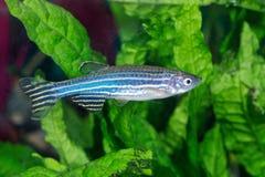 Zebrafish Danio rerio in aquarium stock image