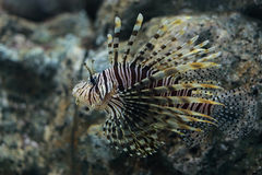 Zebrafish, firefish, turkeyfish. Pterois is a genus of venomous marine fish, commonly known as lionfish, native to the Indo-Pacific. Pterois, also called Royalty Free Stock Photography