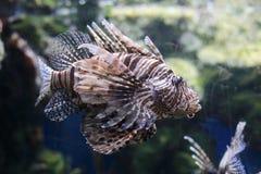 Zebrafish. The image of S zebrafish in an aquarium in Thailand Royalty Free Stock Photos
