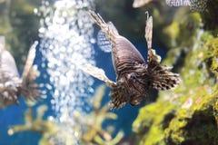 Zebrafish. The image of S zebrafish in an aquarium in Thailand Stock Photography