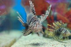 Zebrafish. The image of S zebrafish in an aquarium in Thailand Stock Images