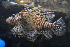 Zebrafish Swimming Beside a Rock Ledge and Reef. Swimming zebrafish swimming beside a rock reef Stock Photo