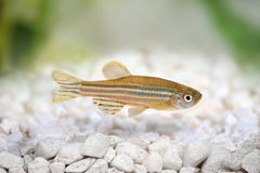 Zebrafish Zebra Barb Danio rerio Royalty Free Stock Photography