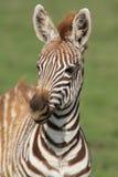 Zebrafohlen Stockfoto
