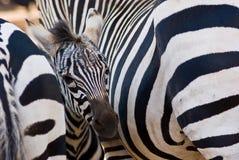 Zebrafohlen Stockbilder