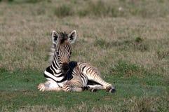 Zebrafohlen Lizenzfreie Stockfotografie