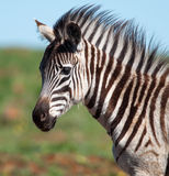 Zebrafohlen, das fast Kamera betrachtet Stockfotografie