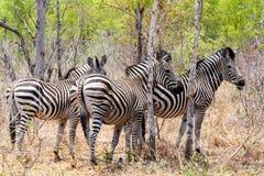 Zebrafohlen im afrikanischen Baumbusch Lizenzfreie Stockfotos
