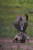 Zebrafohlen legt aus den Grund mit der Mutter, die hinten steht lizenzfreie stockbilder