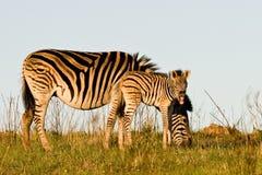 Zebrafohlen und -mutter Lizenzfreie Stockfotos
