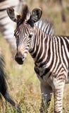 Zebrafohlenportrait Lizenzfreie Stockbilder