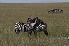 Zebrafrau Lizenzfreies Stockfoto