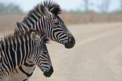 Zebrafrau und -fohlen Stockfoto