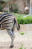 Zebragammler Stockfotos