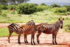 Zebragehen Stockbilder