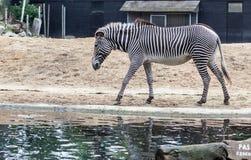 Zebragehen Stockfotos