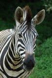 Zebragesicht Lizenzfreie Stockfotografie