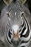 Zebragesicht Lizenzfreie Stockbilder