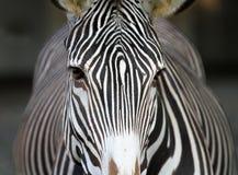 Zebragesicht Stockfotos