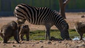 Zebragetränkwasser um einige Affen stockfoto
