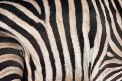 Zebrahaut stockfotos