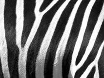 Zebrahaut Stockfotografie