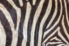 Zebrahautbeschaffenheit Lizenzfreies Stockbild