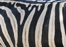 Zebrahautmuster - nahes hohes Stockbilder