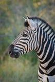 Zebrahengstprofil lizenzfreies stockfoto