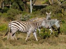 Zebraherde in der Savanne Lizenzfreies Stockbild