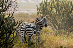Zebraherde in der Savanne Stockfotografie
