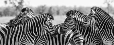 Zebraherde im Schwarzweiss-Foto mit Köpfen zusammen Stockfotografie