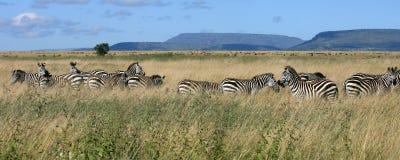 Zebraherde Serengeti Tanzania Stockfotos