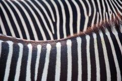 Zebrahintergrund Stockfoto