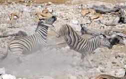 Zebrakämpfen Stockbilder