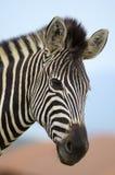 Zebrakopf mit weichem Hintergrund Lizenzfreie Stockfotografie