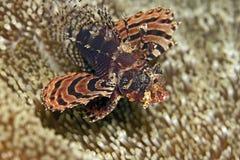 ZebraLionfish Stockfotos