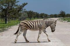 Zebramarkering en grusväg royaltyfri bild
