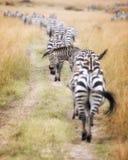 Zebramigration auf das Masai Mara lizenzfreie stockfotografie