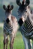Zebramutter und -tochter Stockbilder